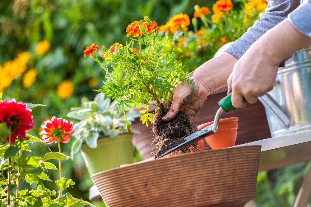 hands separating roots of a marigold plant with trowel